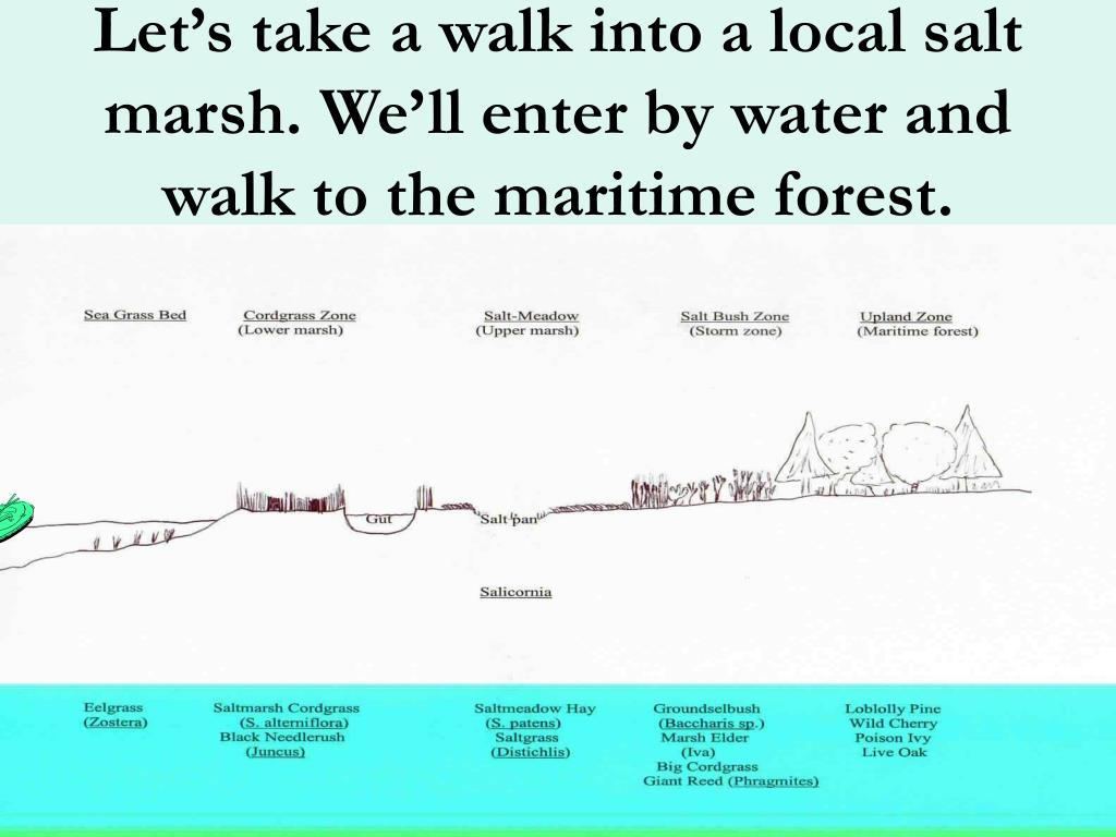 Let's take a walk into a local salt marsh. We'll enter by water and walk to the maritime forest.