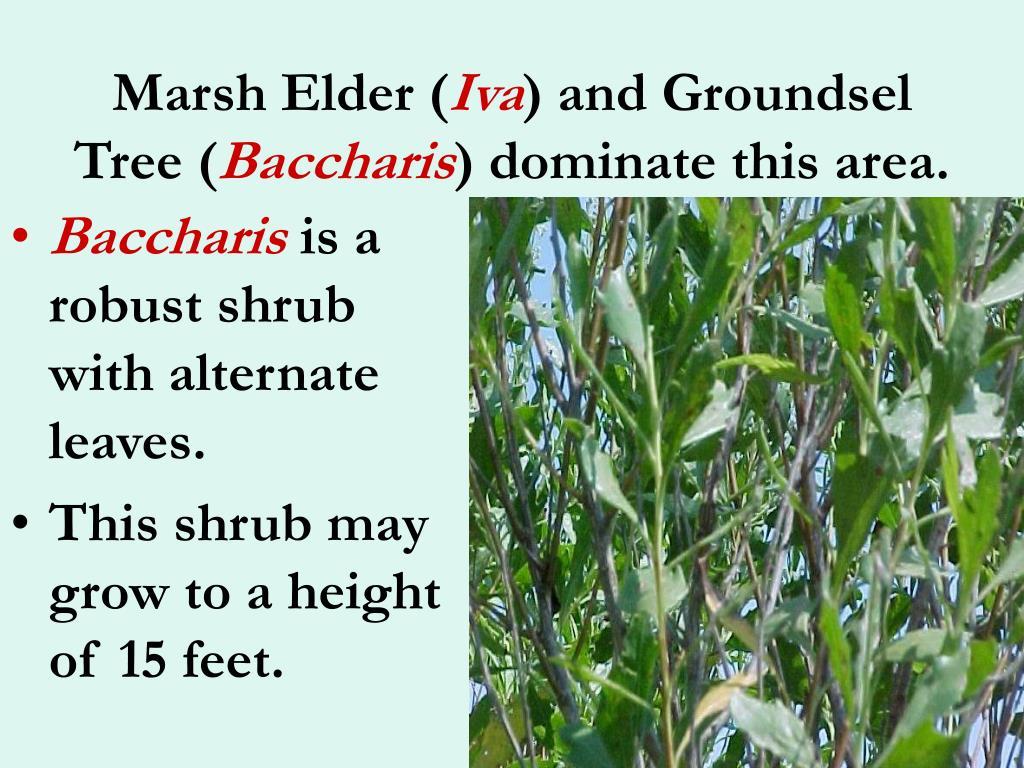 Marsh Elder (