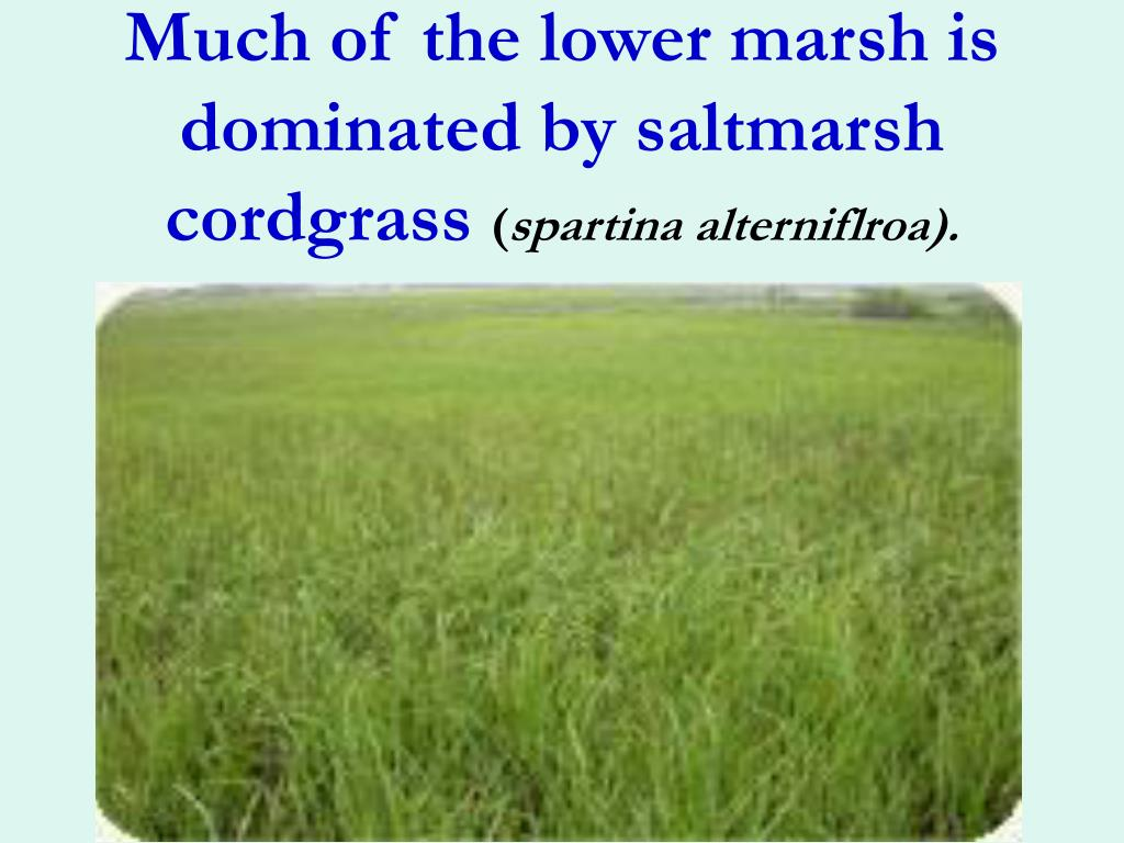 Much of the lower marsh is dominated by saltmarsh cordgrass