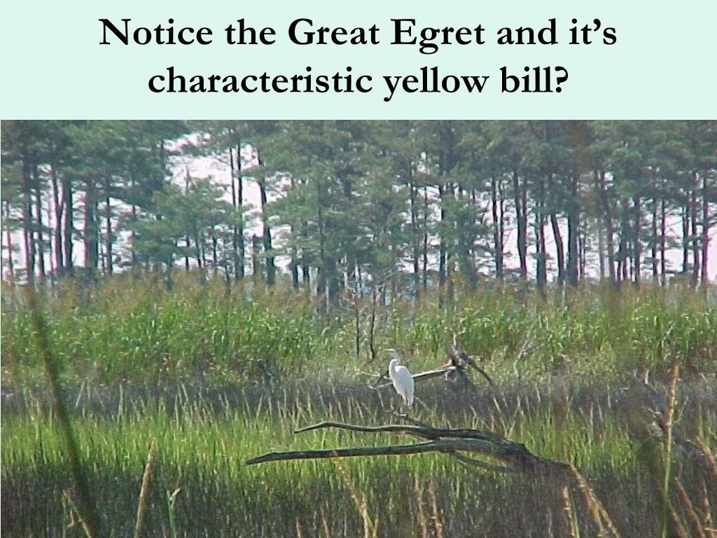 Notice the Great Egret and it's characteristic yellow bill?