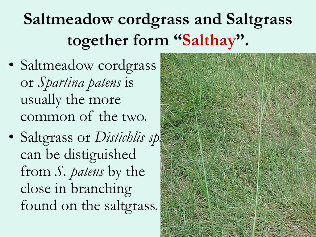 "Saltmeadow cordgrass and Saltgrass together form """