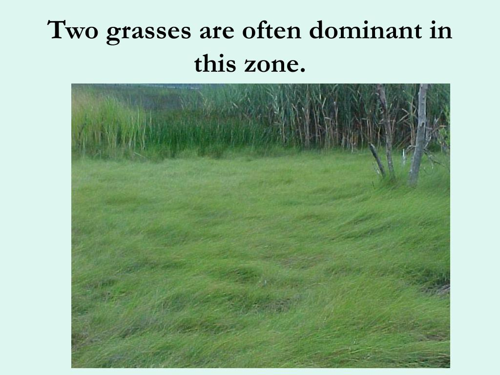Two grasses are often dominant in this zone.
