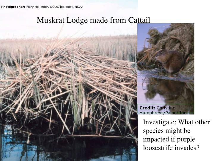 Muskrat lodge made from cattail