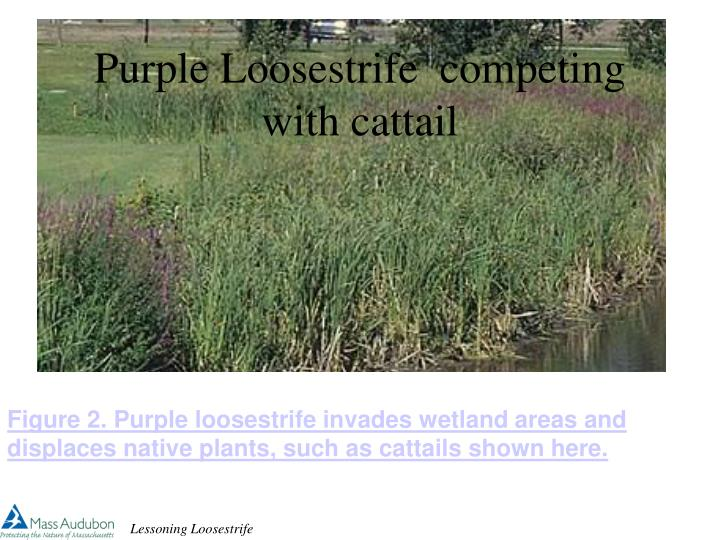 Purple loosestrife competing with cattail l.jpg