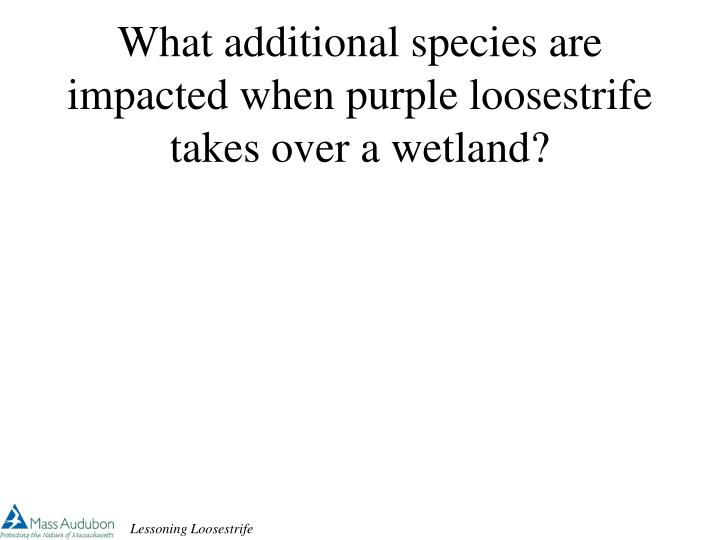 What additional species are impacted when purple loosestrife takes over a wetland