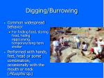 digging burrowing