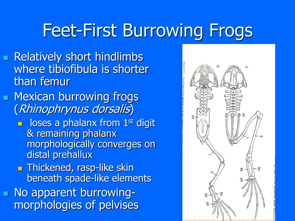 Feet-First Burrowing Frogs