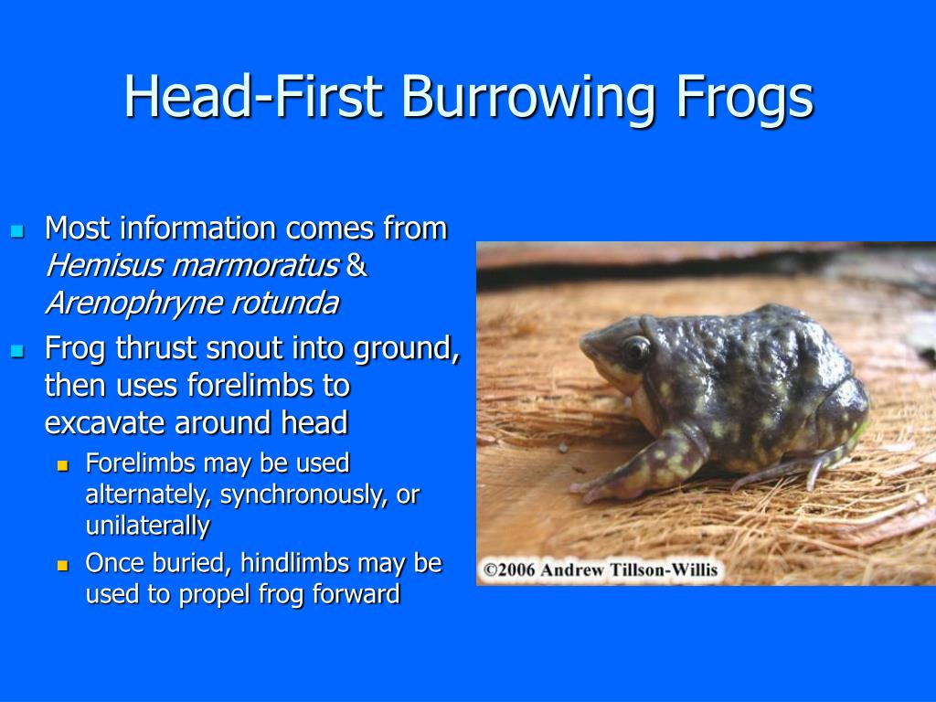 Head-First Burrowing Frogs