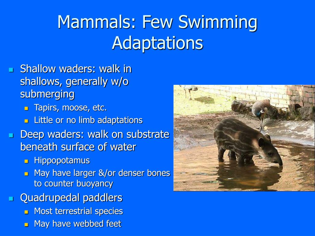 Mammals: Few Swimming Adaptations