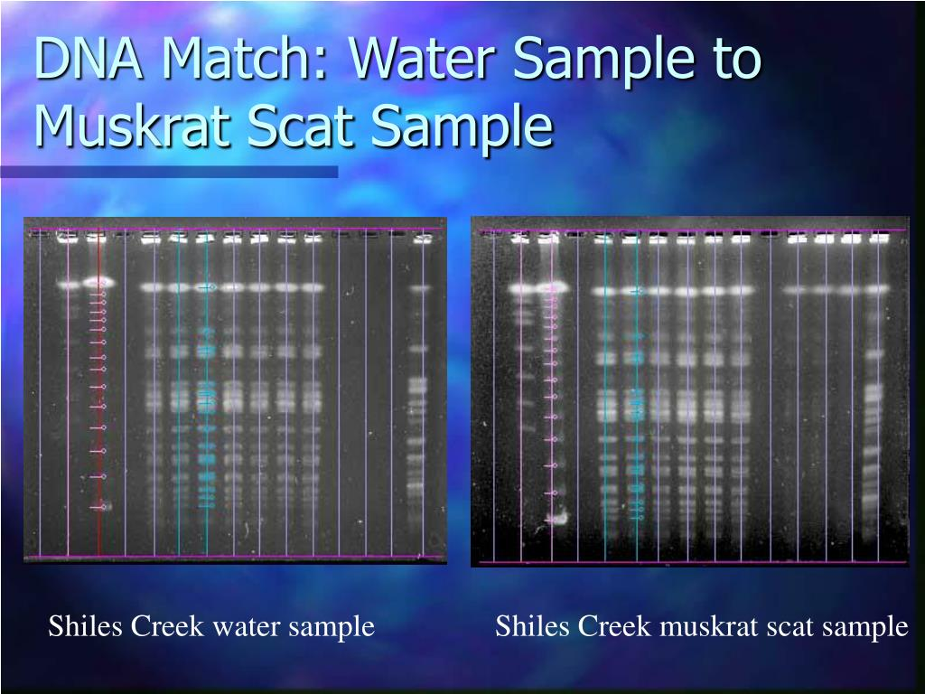 DNA Match: Water Sample to Muskrat Scat Sample