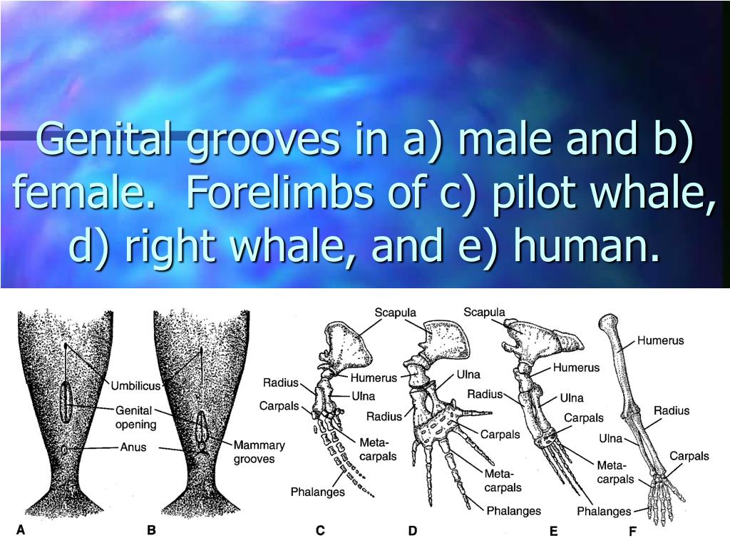 Genital grooves in a) male and b) female.  Forelimbs of c) pilot whale, d) right whale, and e) human.