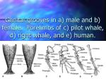 genital grooves in a male and b female forelimbs of c pilot whale d right whale and e human