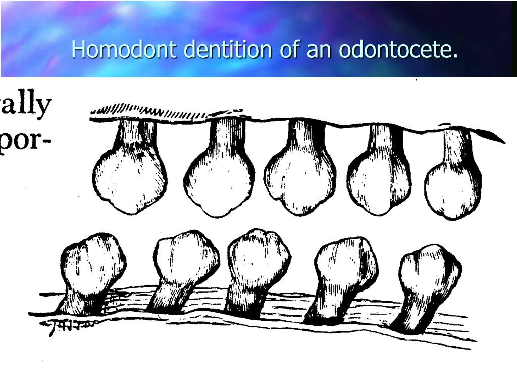Homodont dentition of an odontocete.