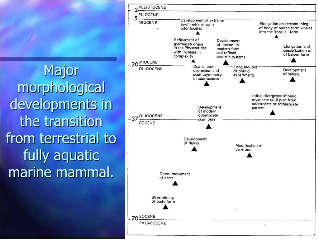 Major morphological developments in the transition from terrestrial to fully aquatic marine mammal.