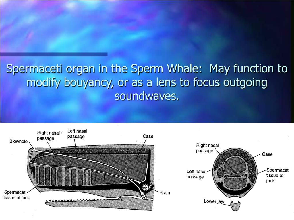 Spermaceti organ in the Sperm Whale:  May function to modify bouyancy, or as a lens to focus outgoing soundwaves.