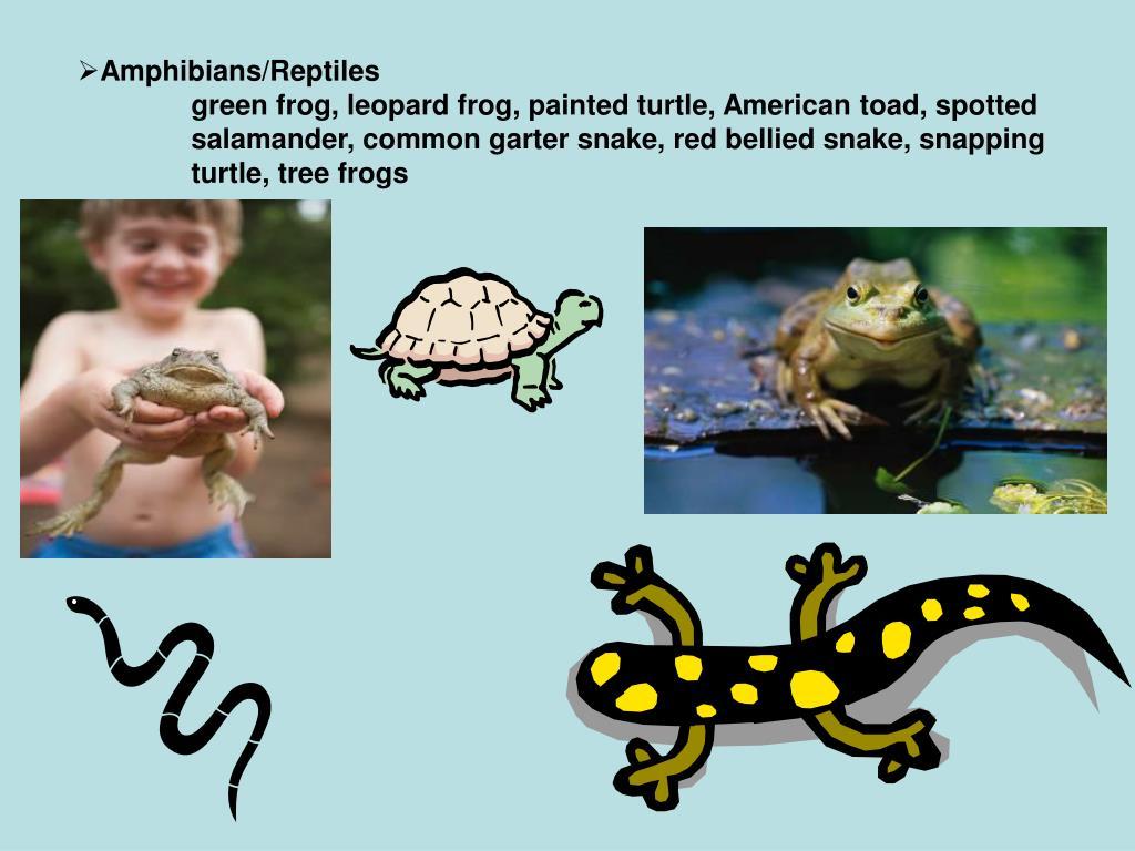 Amphibians/Reptiles