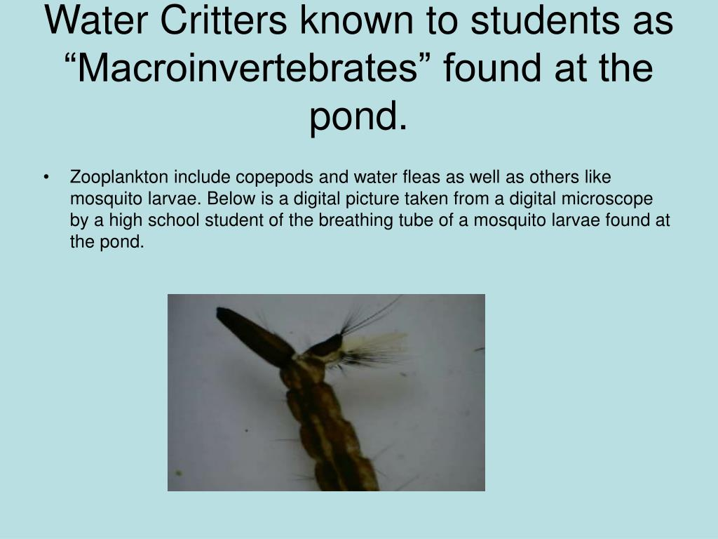 "Water Critters known to students as ""Macroinvertebrates"" found at the pond."