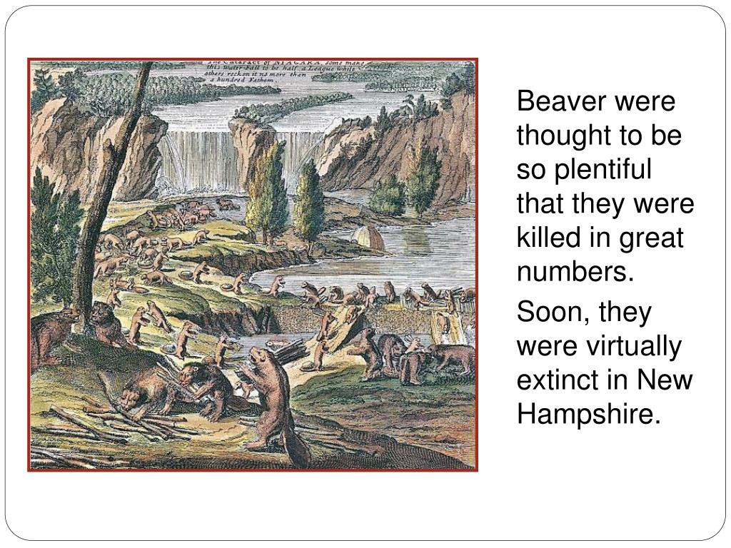 Beaver were thought to be so plentiful that they were killed in great numbers.