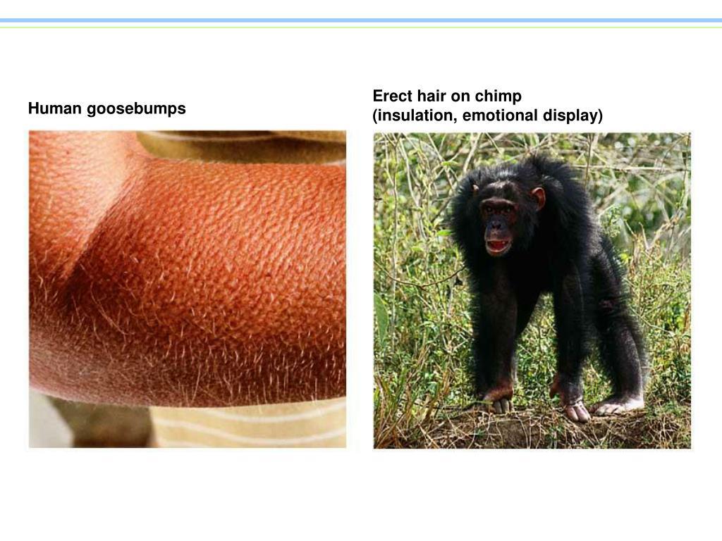 Erect hair on chimp