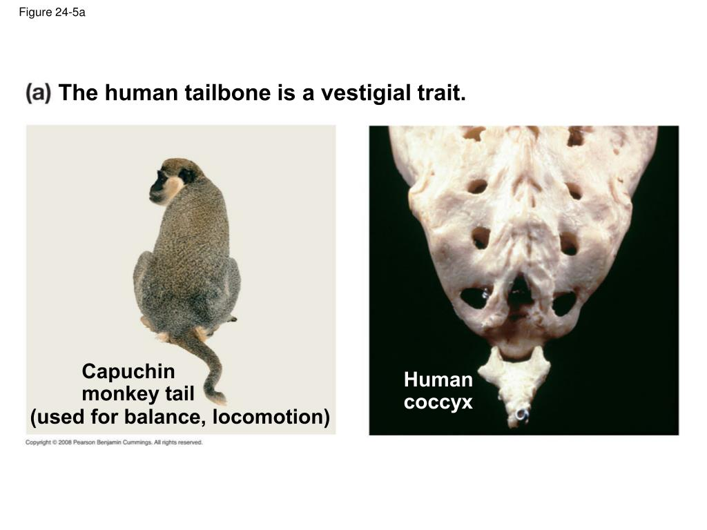 The human tailbone is a vestigial trait.