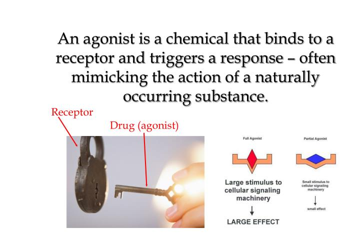 An agonist is a chemical that binds to a receptor and triggers a response – often mimicking the action of a naturally occurring substance.