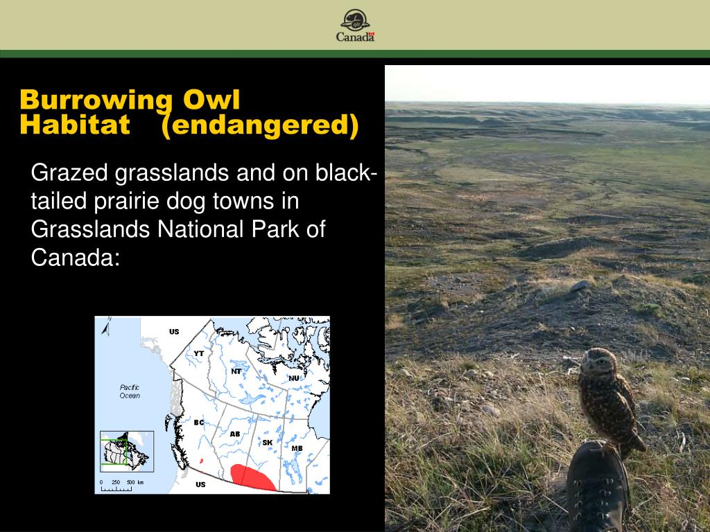Burrowing Owl Habitat	(endangered)