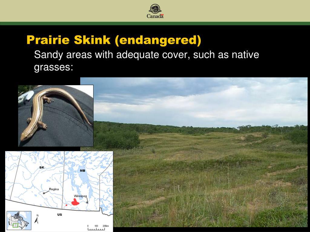 Prairie Skink (endangered)