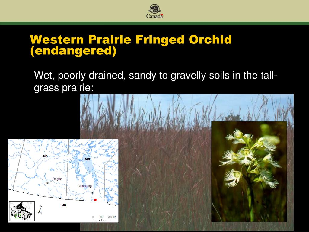 Western Prairie Fringed Orchid (endangered)