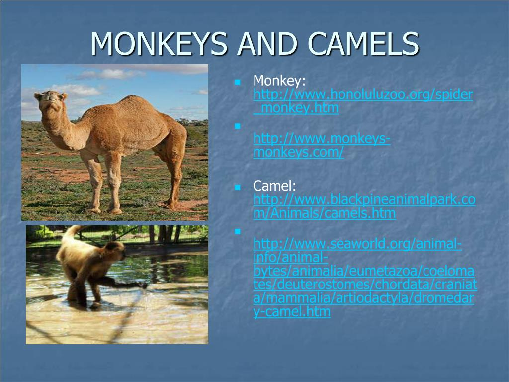 MONKEYS AND CAMELS