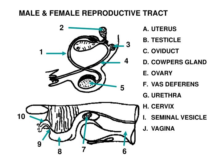 MALE & FEMALE REPRODUCTIVE TRACT