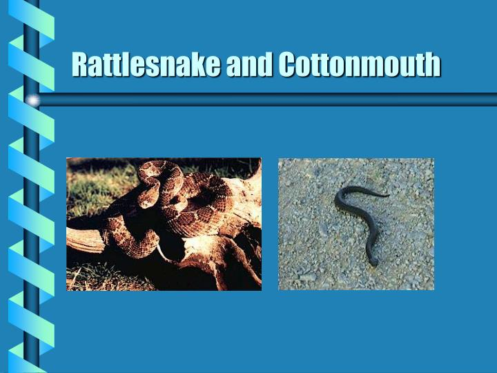 Rattlesnake and Cottonmouth