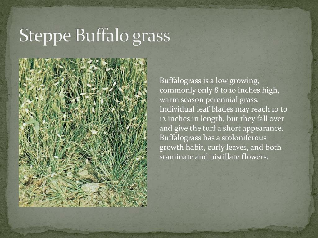 Steppe Buffalo grass