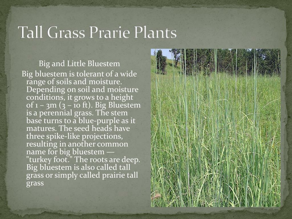 Tall Grass Prarie Plants