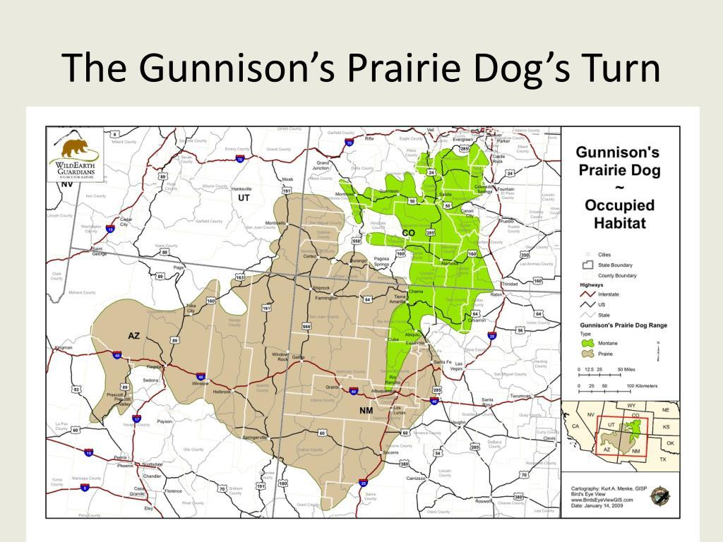 The Gunnison's Prairie Dog's Turn