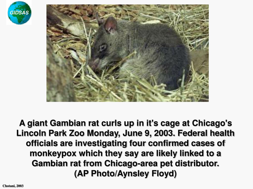 A giant Gambian rat curls up in it's cage at Chicago's Lincoln Park Zoo Monday, June 9, 2003. Federal health officials are investigating four confirmed cases of monkeypox which they say are likely linked to a Gambian rat from Chicago-area pet distributor.           (AP Photo/Aynsley Floyd)