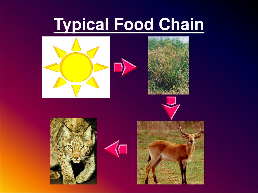 Typical Food Chain