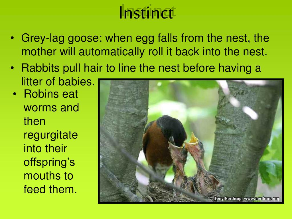 Grey-lag goose: when egg falls from the nest, the mother will automatically roll it back into the nest.
