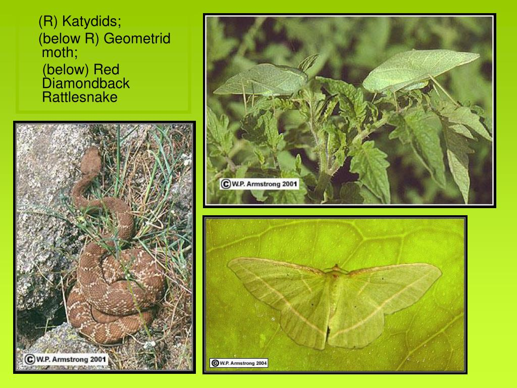 (R) Katydids;