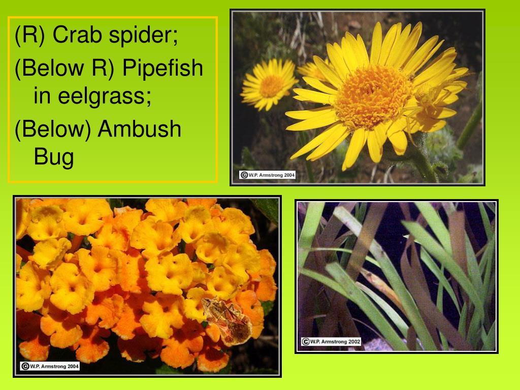 (R) Crab spider;