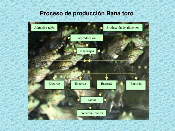 Proceso de producción Rana toro