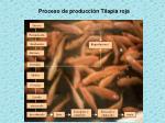 proceso de producci n tilapia roja