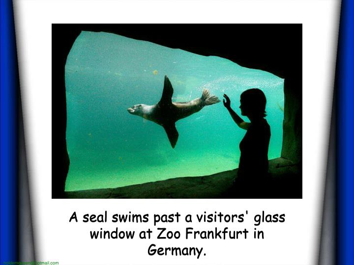 A seal swims past a visitors' glass window at Zoo Frankfurt in  Germany.