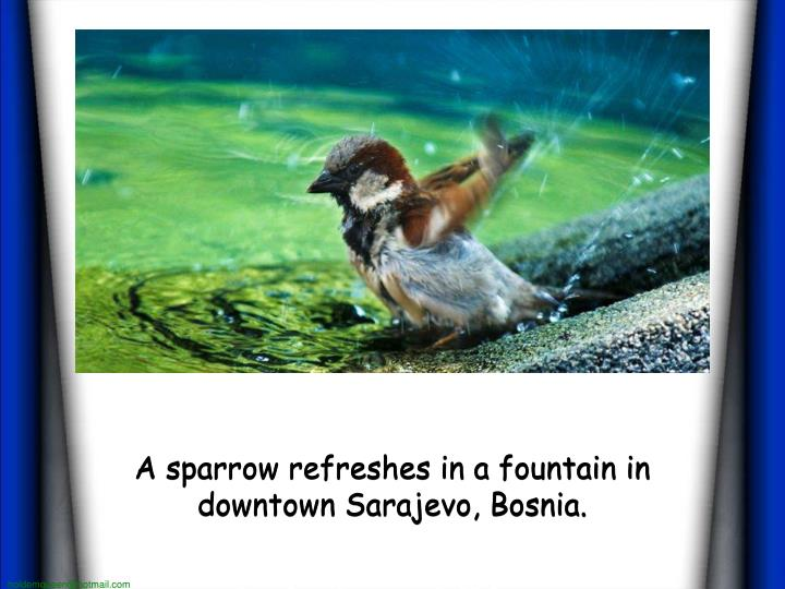 A sparrow refreshes in a fountain in downtown Sarajevo, Bosnia.