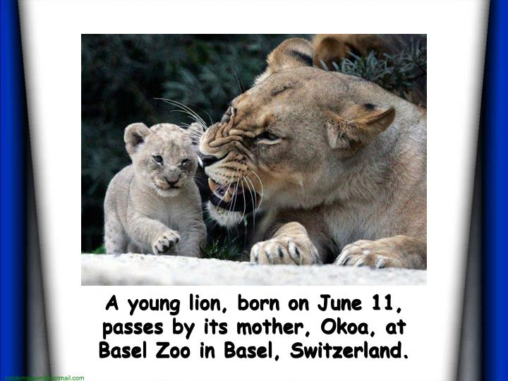 A young lion, born on June 11, passes by its mother, Okoa, at Basel Zoo in Basel, Switzerland.