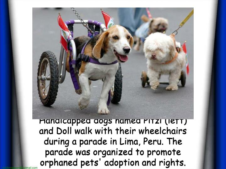 Handicapped dogs named Pitzi (left) and Doll walk with their wheelchairs during a parade in Lima, Peru. The parade was organized to promote orphaned pets' adoption and rights.