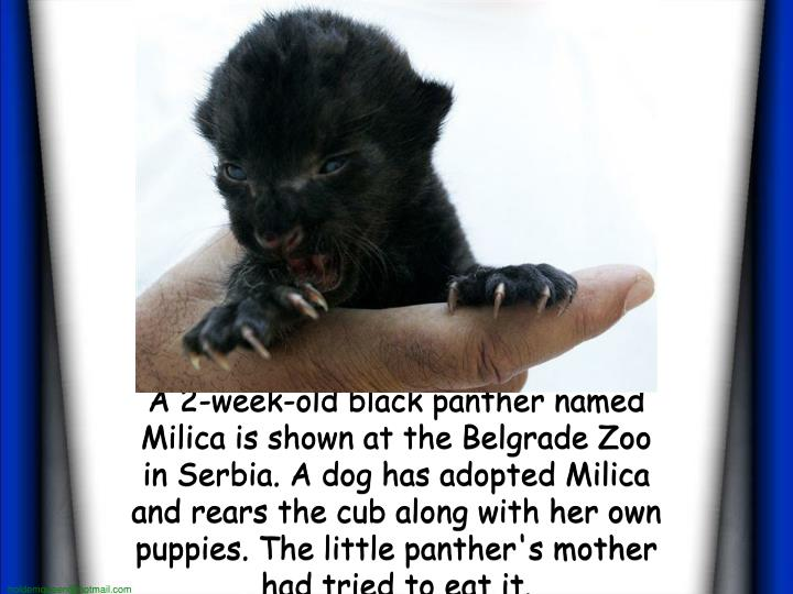 A 2-week-old black panther named Milica is shown at the Belgrade Zoo in Serbia. A dog has adopted Milica and rears the cub along with her own puppies. The little panther's mother had tried to eat it.