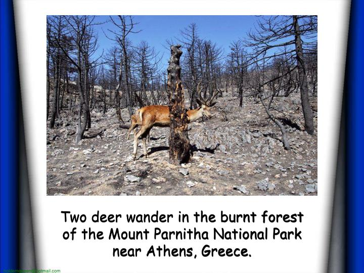 Two deer wander in the burnt forest of the Mount Parnitha National Park near Athens, Greece.