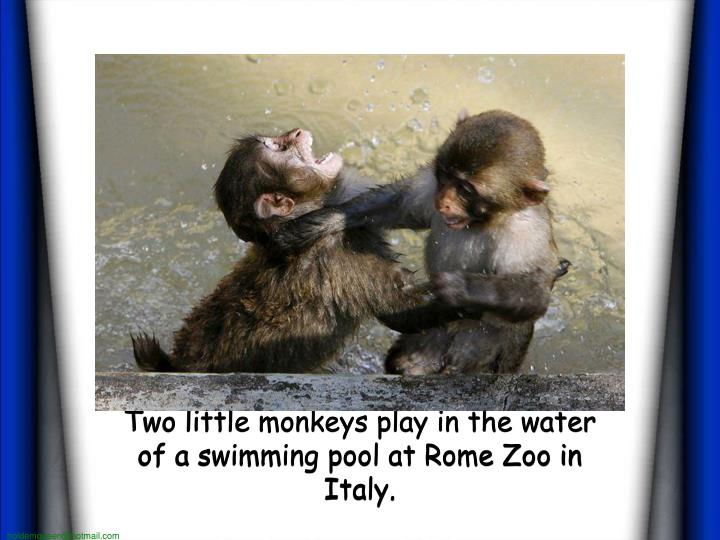 Two little monkeys play in the water of a swimming pool at Rome Zoo in Italy.
