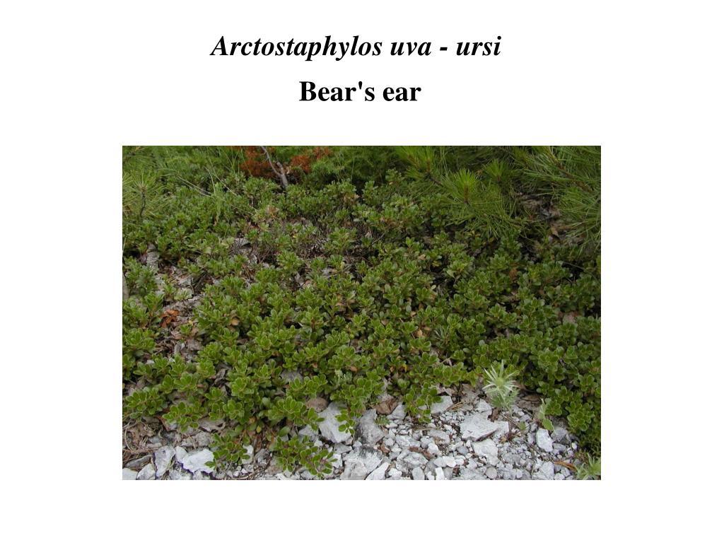 Arctostaphylos uva - ursi