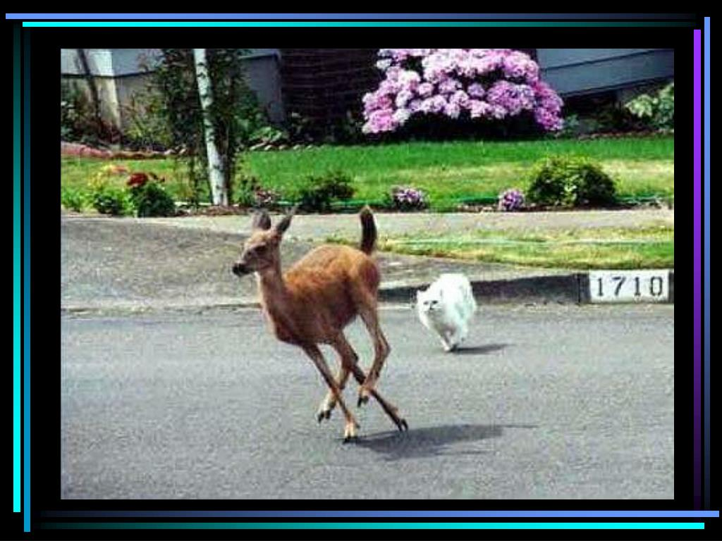 Cat chases deer